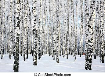 forêt, janvier, ensoleillé, hiver, bouleau