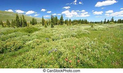forêt nationale, bighorn