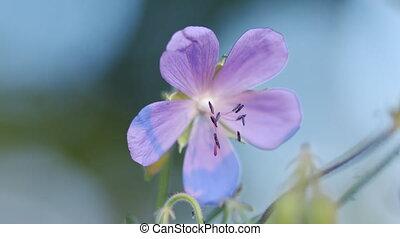 forest., géranium sauvage, haut., oscillation, fin, pays boisé, vent, fleurs