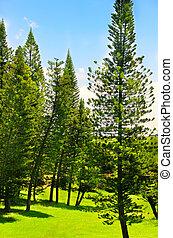 forrest, arbres pin