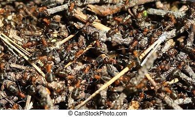 fourmis, colonie