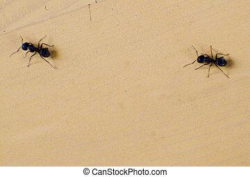 fourmis, marcher