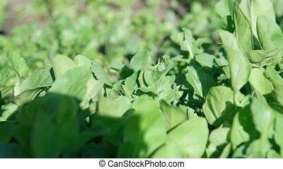 foyer, développé, sélectif, harvesting., arugula, salade, prêt, garden.