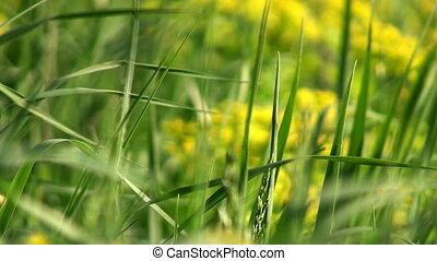 frais, herbe, fond, macro
