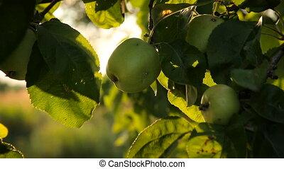frais, jardin, branche, pommes