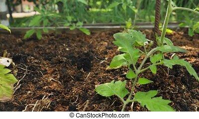 frais, sol, business, pousses, garden., fertilisé, petit, sain, organique, vidéo, concept, seddling, nutrition, légume, jardinage, closeup, croissant