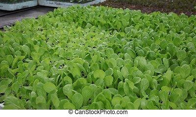frais, verdure, salade verte, développé, closeup, jeune, feuilles, serre