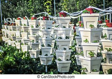 fraise, jardin, vertical