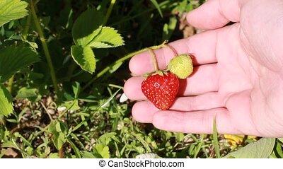 fraise, rassemblement, récolte