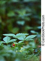 fraise sauvage, plante, fruit