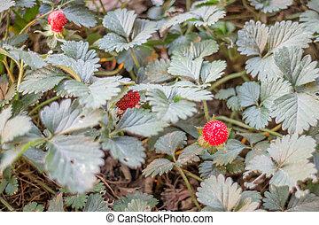 fraise sauvage, plante, fruit, rouges