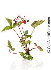 fraise sauvage, plante