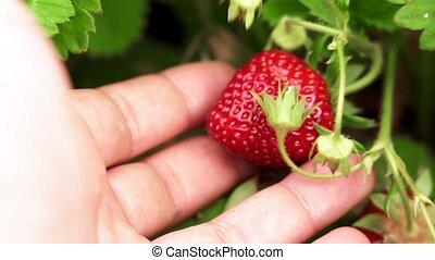fraises, récolte, baies, foyer., sélectif, fin, mûre, haut