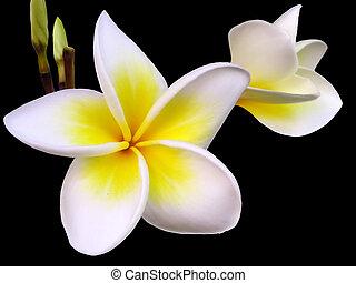frangipanier, fleur
