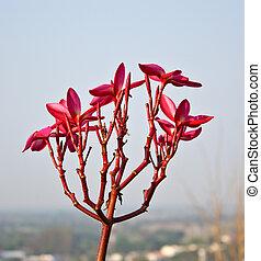 frangipanier, fond, ciel rose, fleurs