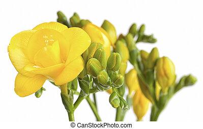 freesias, jaune, fond blanc