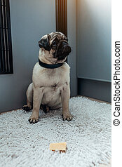 fromage, formation, permission, chien pug, kitchen., self-control., attente, chiot, manger