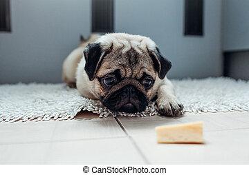 fromage, permission, chien pug, kitchen., attente, manger