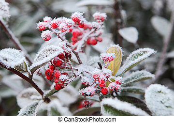 frost., nord, italy., rime, sous, piémont, baies