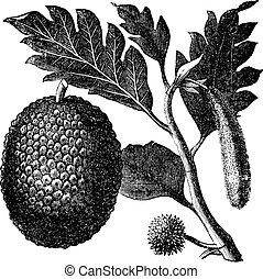 fruit arbre pain, vieux, altilis, artocarpus, artocarpe, ou, engraving.