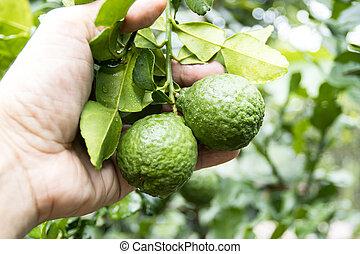 fruits, moitié, frais, bois, coupure, table., bergamote