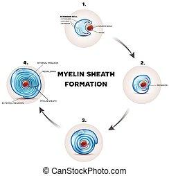 gaine, formation, myelin
