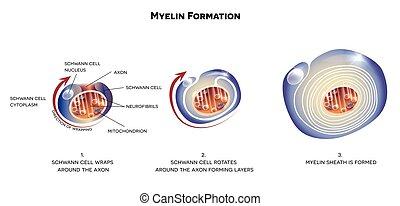 gaine, neurone, myelin
