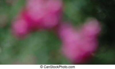 garden., buisson rose