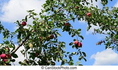 garden., ciel bleu, arbre, contre, pommes, fond