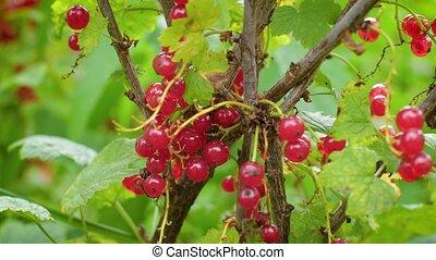 garden., comestible, bush., buisson, mûre, tas, juteux, groseille, baie, pendre, mûrir, branch., rouges, 4k