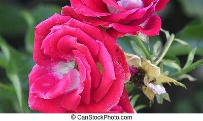garden., jardin, rose, roses, buisson, branche, rouges