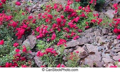 garden., rockery, roses, rocher, moule, vue