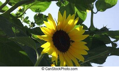garden., tournesol, séance, brillant, sunflower., floraison, bourdon, jaune, closeup, lumière soleil, pendre, descendant