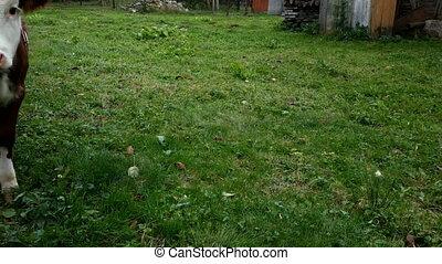garden., veau, rural