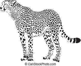 gepard, blanc, -, guépard, noir