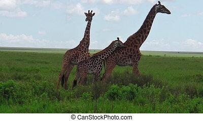 girafe, famille, africaine