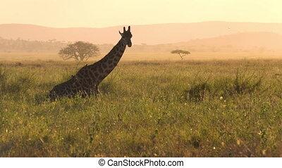 girafe, savane, corps, oiseaux, manger, lent, coucher soleil, africaine, herbe, mouvement