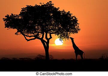 girafes, afrique, grand, coucher soleil, africaine, sud