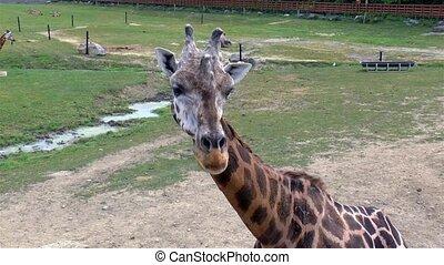 giraffe., vue, haut fin