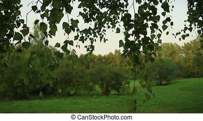 glissements, penchée, lentement, feuilles, passé, bouleau, appareil photo