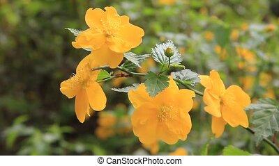 globeflower, japonaise