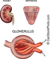 glomerulus, partie, rénal, rein, corpuscule