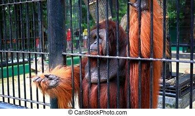 gorille, haut fin, cage