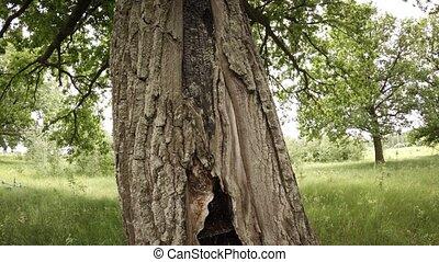 grève, arbre chêne, hollowed, éclair, vivant