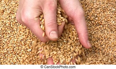 grain, blé