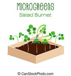 graines, plante, minor., sanguisorba, salade, microgreens, pousser, burnet, bowl., pousses