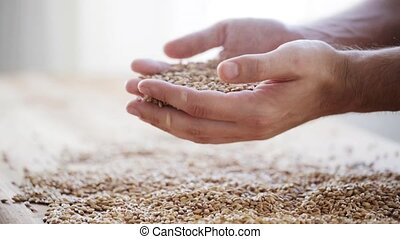 grains céréale, agriculteurs, malt, tenant mains, mâle, ou