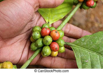 grains café, plante