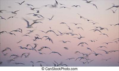 grand, 2, troupeau, soir, oiseaux
