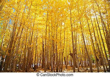 grand-angulaire, tremble, arbres, automne